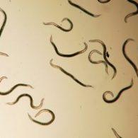 10 Million nematodes