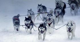 sled_dog_iditarod2012