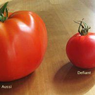 Big Aussie tomato